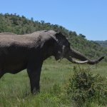 Amarula, the famous elephant! The tail was bit off by a lion =(