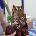 """this owl was being """"socialized"""" ... was blind in one eye"""