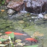 Koi Pond, , Best Western, Pacific Grove, Ca