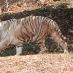 White tiger zoomed view