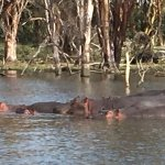 Basking hippos seen on boat ride