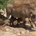 Warthogs are in the hotel grounds