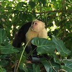 Monkey at Manuel Antonio forest