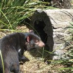 Tasmanian Devils at Bonorong sanctuary.