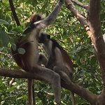 Red colobus monkey with suckling baby