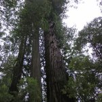 It's all about the trees here, the Coastal Redwood is the tallest tree on the planet.