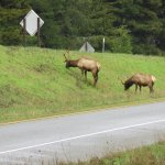 The elk of Elk Prairie at Redwoods state and national parks