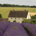 Photo of Cotswold Lavender