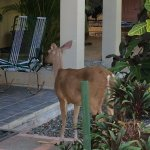 Tame deer right next to the pool