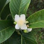 Guava blossom
