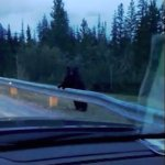 A black bear just watching the traffic go by!