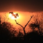 A Marabou Stork lifts off at sunset in the Serengeti.