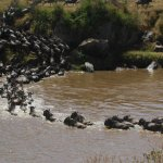 Wildebeest sprint across the Mara River in late August, in fear of crocodiles.