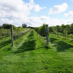 Five acres of grapes grown in the vineyard.