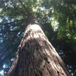 Giant Redwood