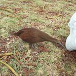 The endangered Lord Howe Island woodhen and other native birds wander the grounds.