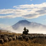 Our sheep are living freely and as naturally as possible
