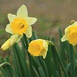 Early seasom daffodils