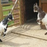 Goats 🐐 having a play fight