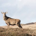 The deer on Jura are as intrested in you as you are in them