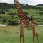 Giraffe at Spion Kop reserve