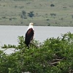 Fish eagle at Spion Kop reserve