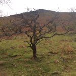 Favourite tree on the walk to the summit of Scafell Pike