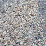 Just a few Sanibel seashells.