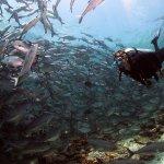Diving Mabul, Sipadan, school of jackfish