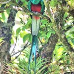 Resplendent Quetzale at Curi-Canche Reserve, Monteverde, Costa Rica