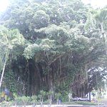banyan drive (road lined with banyans), hilo hawaiian is one of a number located on bd