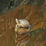 A Saucy Turtle
