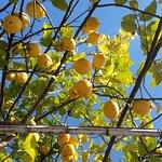 La pergola di limoni nell'orto