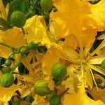 Beatiful yellow poincianas on the main street