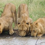 Lions on afternoon drive.