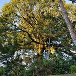 Enormous LaCeiba tree