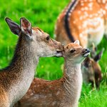 Beautiful fallow deer