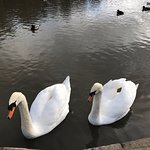 Swans at Golden Acre Park