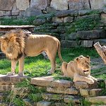 Lions checking up on the tourists, guessing which ones would taste best.