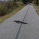Just happened to see an alligator crossing the trail.