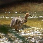 A Southern Cassowary chick!