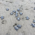 Turtles within the roped off area heading for the water