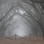 The road of live oaks