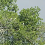 Egrets gathered in a tree.