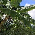 bananas growing in the garden