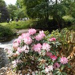 Rhododendron blooming by a stream.