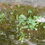 These tiny plants grow on a stone wall. Shamrocks? Maybe.