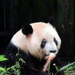Panda munching on a bamboo stem