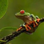 Red-eyed tree frog Rana de ojos rojos  Agalychnis callidryas Markus Mauthe