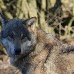 Loup gris photos 26/02/2017